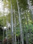 Bambous au temple de Kannon